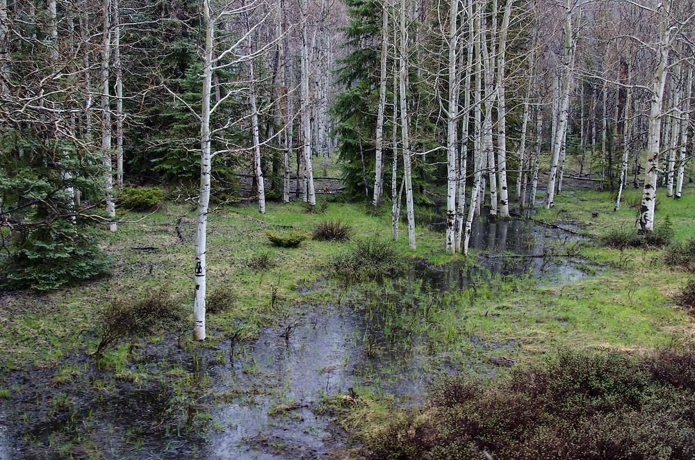 Scenic aspen grove en route to Chama, New Mexico.