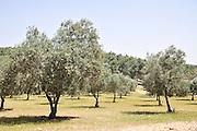 Olive Grove, Negev, Israel