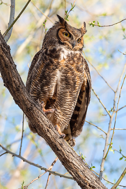 Great Horned Owl (female), Twin Lakes - 2016