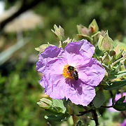 Bloom of Cistus albidus (Rock rose, Sun rose). A small shrubs of scrub and dry woodland regions of southern Europe and North Africa; grown for their showy flowers and soft often downy and aromatic evergreen foliage