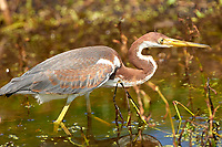 Tricolored Heron (Egretta tricolor),  Wakodahatchee Wetlands, Delray Beach, Florida, USA