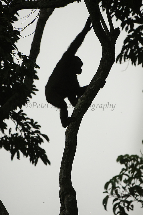 Western lowland gorilla (Gorilla gorilla gorilla)<br /> Ngaga<br /> Odzala - Kokoua National Park<br /> Republic of Congo (Congo - Brazzaville)<br /> AFRICA<br /> Range: lowland swamps of Angola, Cameroon, Central African Republic, Congo, DRC, Equatorial Guinea and Gabon<br /> IUCN STATUS: Critically endangered