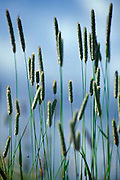 Reeds, close up, Colorado