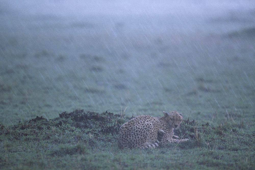 Kenya, Masai Mara Game Reserve, Adult Female Cheetah (Acinonyx jubatas) cowers in torrential rain storm on savanna