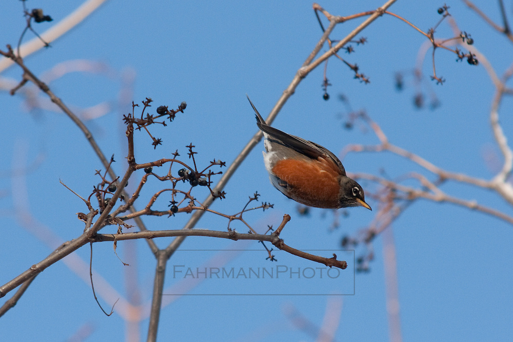 An American Robin dives from its roost on a branch to begin flight