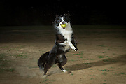 A border collie running with a tennis ball.
