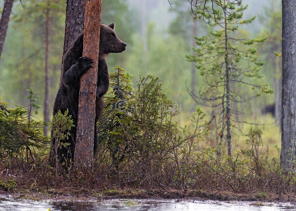 Brown bear (Ursus arctos) from the forests of eastern Finland in August 2015.
