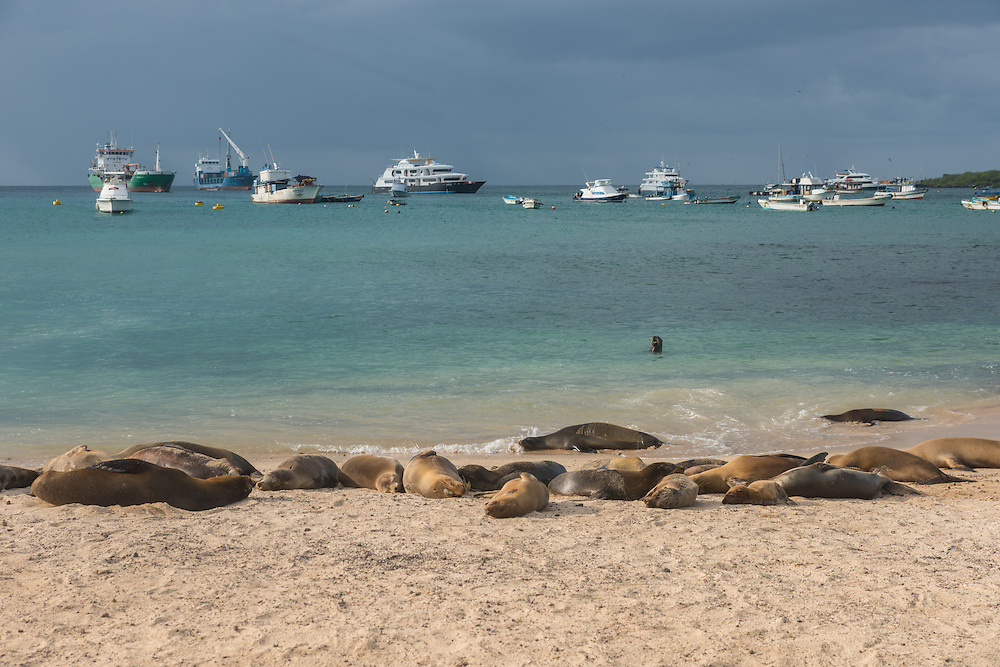Sea lions are sunbathing on a beach at San Cristobal, on the background are boats, San Cristobal, Galapagos, Ecuador.