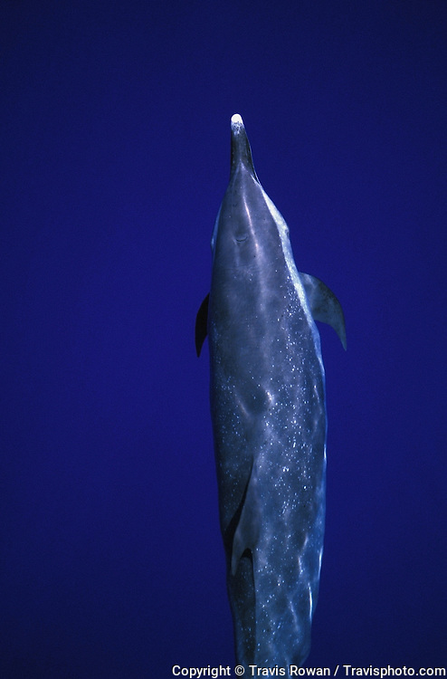 A pacific spotted dolphin just below the surface off the coast of Kona, Hawaii.