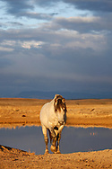 With storm clouds darkening the morning sky, the stallion, San Jose, leaves the waterhole to join his band.