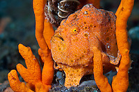 Painted frogfish in a sponge, Seraya, Bali, Indonesia. Seraya is located on Bali's NE coast and has become very popular with divers and photographers searching for unusual species.  The signature site, 'Seraya Secrets' has a barren sand floor with small patches of sponge and other encrusting life, and rocks in the shallows. Bali is a very popular holiday destination for divers and offers a wide variety of different types of diving, from reefs and wrecks to mucks sites such as Puri Jati and Gilimanuk.