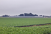 large potato field with glasshouses in the distance in North Holland