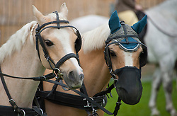 © Licensed to London News Pictures. 18/05/2019. Llanelwedd, Powys, Wales, UK. Teams of harness race horses wait for the event to start on the first day of the Smallholding and Countryside Festival - A celebration of rural life – at the Royal Welsh Agricultural Society showground, Llanelwedd in Powys, UK. Photo credit: Graham M. Lawrence/LNP