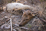 Still warm, a yearling rocky mountain elk calf (Cervus elaphus elaphus) lays were it was killed by a cougar. The cougar jumped on the animals back and then broke its neck. Wenaha cougar study area, Eastern Oregon.
