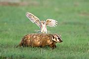 Burrowing owl attacks badger in defense of nest.