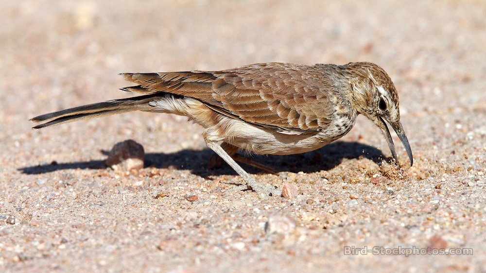 Benguela Long-billed Lark, Certhilauda benguelensis, north of Uis, Namibia, by Adam Riley
