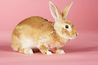 Brown rabbit on pink background