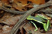 Peruvian Poison Frog (Epipedobates trivittatus) - Amazonia, Peru