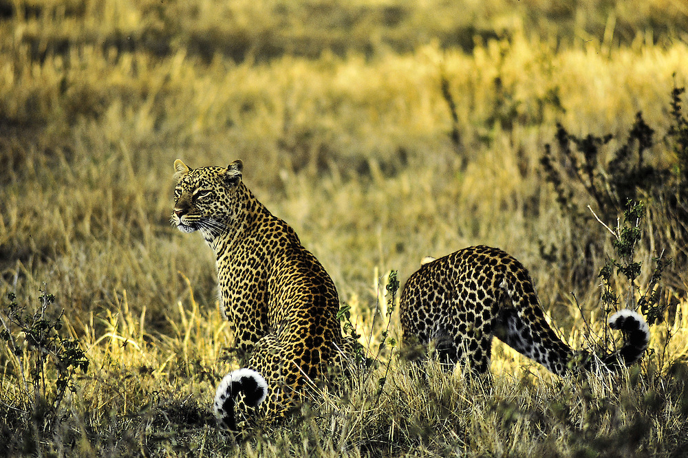 Two adults together. Masai Mara, Kenya