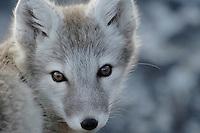 Arctic fox / Alopex lagopus<br /> Trygghamna<br /> Svalbard<br /> Norway