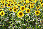 Sunflower field. Photographed in Provence, France