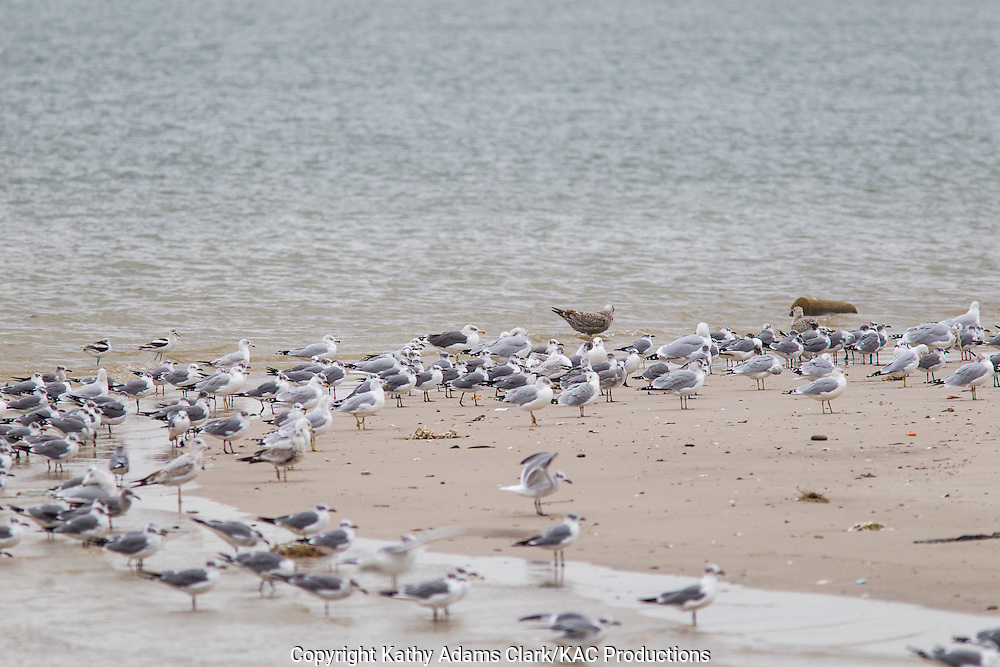 Lesser black-backed gull, Larus fuscus, winter, on beach with other gulls, Baytown, Texas.