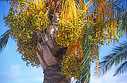 Dates growing in date palm tree, Phoenix dactylifera, Sicily, Italy
