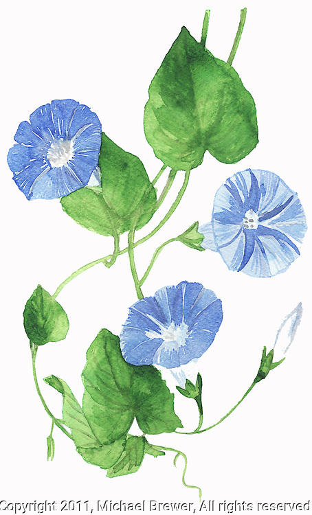 Watercolor illustration of a delicate Morning Glory cutting.