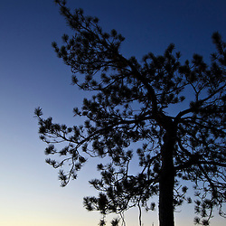 A crescent moon and  a pitch pine tree in the pre-dawn sky in New Hampshire's White Mountains. Cathedral Ledge, North Conway. Echo Lake State Park.