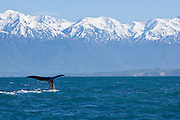 Sperm Whale, Kaikoura, New Zealand