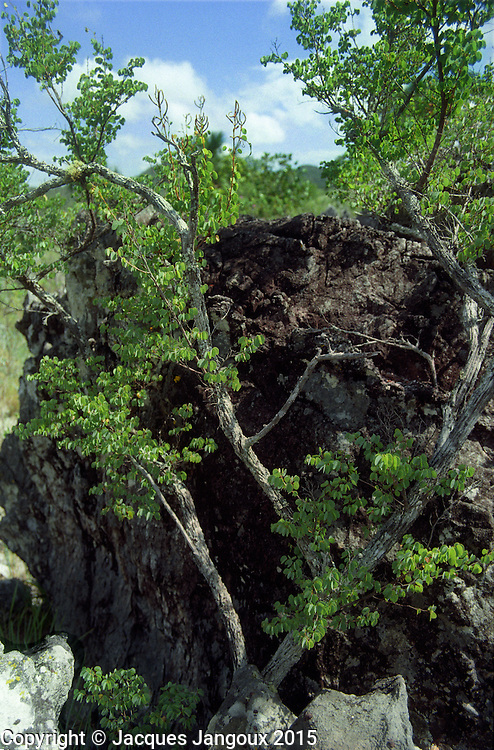 Bauhinia tenella, endemic of saxicolous vegetation (vegetation growing among rocks - campos rupestres) in  savanna (cerrado) biome, Brazilian  Highlands, Goiás State, Brazil