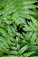 Ticino, Southern Switzerland. Fronds of ferns forming a lovely, green texture.  Vertical.