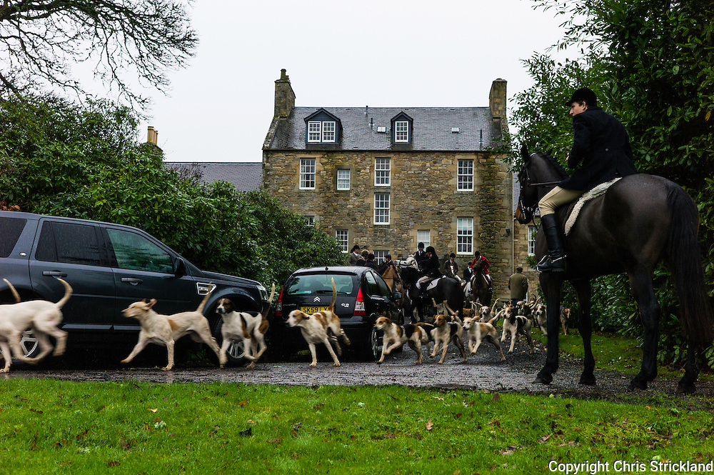 Jedburgh, Scottish Borders, UK. 12th December 2015. Hounds of the Jedforest Hunt leave the meet full of energy prior to a days hunting.