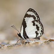 Straight Pierrot, Caleta roxus pothus, in Chaloem Phrakiat Thai National Park, Thailand.