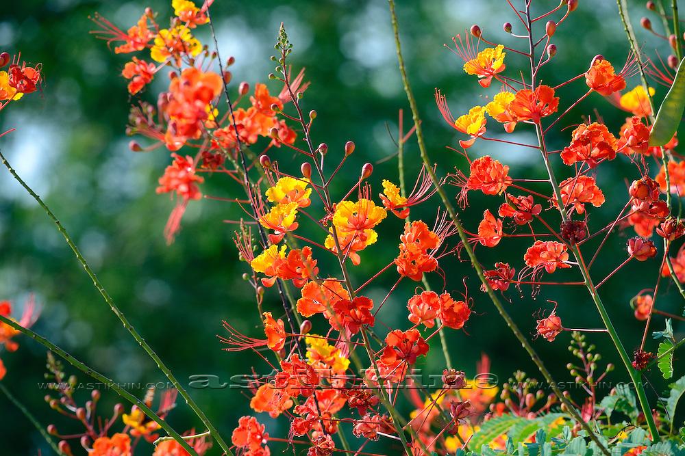 Calliandra Eriophylla - flowers, Arizona.