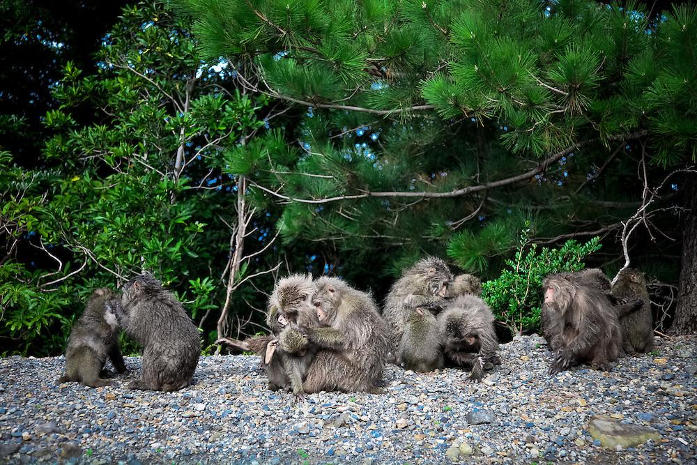 Japan, Yakushima - Monkey on the west coast of Yakushima.