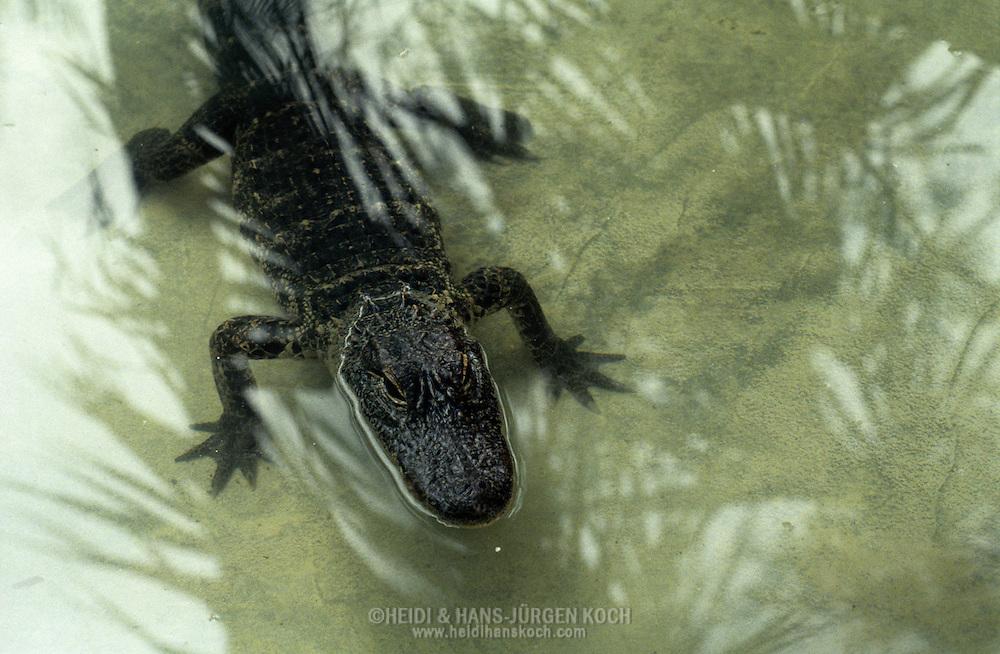 Vereinigte Staaten von Amerika, USA, Florida: amerikanischer Mississippi-Alligator (Alligator mississippiensis).Junger Alligator in flachem Wasser. Auf der Wasseroberflaeche spiegeln sich Palmzweige. | United States of America, USA, Florida: American Alligator, Alligator mississippiensis, young Alligator in shallow water, reflections of palm leaves in the water. |