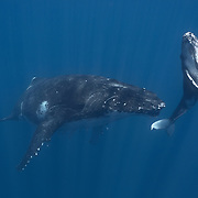 Female humpback whale calf (Megaptera novaeangliae) heading to the surface for a breath of air while her mother waits patiently below