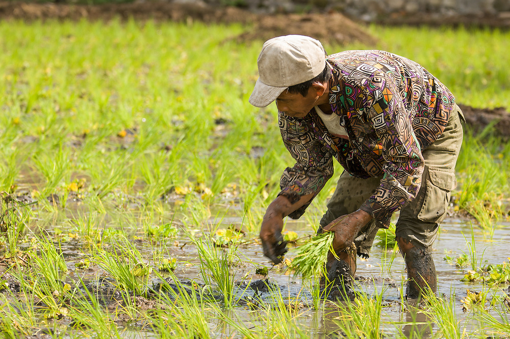 Portrait of rice farming in the Kotamobagu valley of North Sulawesi, Indonesia. The man is planting rice seedlings.