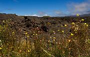 Blooms and old lava about the Native tree sanctuary Pu'u Huluhulu atop the small hill located within a sea of lava between Mauna Kea and Mauna Loa on the big Island of Hawai'i on Tuesday, June 5, 2018.