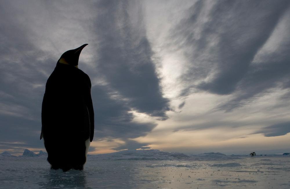 Antarctica, Snow Hill Island, Emperor Penguin(Aptenodytes forsteri) on frozen sea ice on sunny afternoon