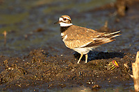 Killdeer Charadrius vociferus Arthur R Marshall National Wildlife Reserve Loxahatchee Florida USA
