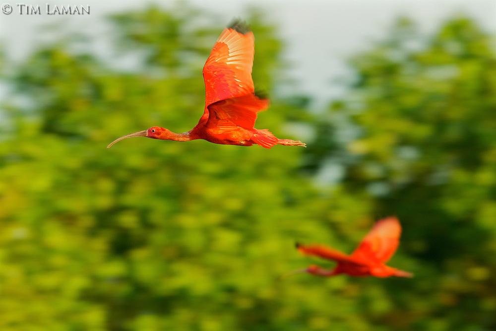 Scarlet Ibises (Eudocimus ruber) in flight.