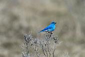 Mountain Bluebird (Scalia currucoides)