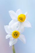 Narcissus canaliculatus - tazettta daffodil