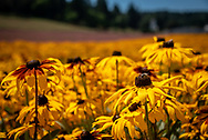 """Field of black-eyed susan flowers or """"rudbeckia"""" blossoms of gold on a summer afternoon at a flower farm at Silverton, Oregon."""