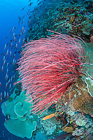 Whip Corals and Fusliers..Shot in Indonesia..
