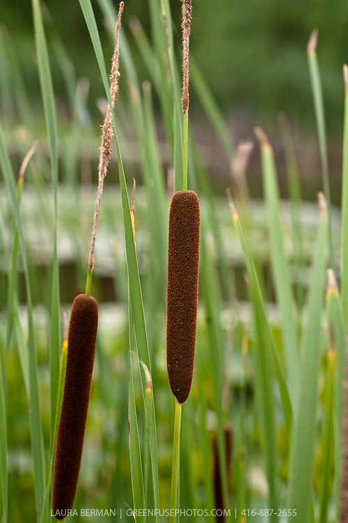 cattails in Wetland (swamp, bog, swale, marsh).