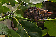 Short-horned chameleon (Calumma brevicornis) eastern rain or humid forests from northern tip to Fort Dauphin in the south. (either secondary or primary forests) MADAGASCAR<br /> It may reach a length of 33cm. There is a huge variation in size, colouration and adornments between populations. A dorsal crest is present in both sexes, but sometimes poorly developed in some populations. During breeding season the males may exhibit a red nasal appendage and bluish legs. (This male is photographed during breeding season)<br /> There are more than 150 species world wide and over half of those are only found in Madagascar. All species on the island are Native.<br /> Chameleons are well-known for their special adaptions: The ability to change color rapidly to either match their surroundings or to reflect their mood. They have the capacity to move their turreted eyes independently of each other which allows them to look in different directions simultaneously. They have independent 360 degree vision except when hunting they use binocular vison to estimate the distance of the prey. They capture their prey with the rapid firing of their tongue which can extend to approximately half of their body length and is ended with a kind of gluing hammer. All species found in Madagascar lay eggs (Oviparous) and do not give parental care. The calumma and furcifer group are known as true chameleons as they have a prehensile tail.  The Calumma group is highly arboreal, thus the prehenile tail as well as having opposable, fused fingers to grip onto branches. They tend to be solitary except during the breeding season. <br /> Calumma brevicornis is CITES 11 classification and needs an export permit to be exported from Madagascar.<br /> ENDEMIC TO MADAGASCAR