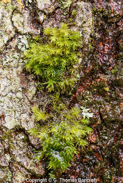 Lyall's Bristle Moss, Common Isolated tufts on branches of trees and shrubs, Olive green. Leaves long & narrow, tips strongly diverged, Mostly alder, maple, ans shrubs